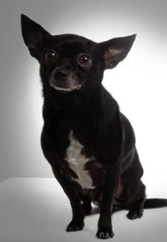 My black chihuahua Black Chihuahua, My Black, French Bulldog, My Favorite Things, Dogs, Animals, Animales, Animaux, French Bulldog Shedding