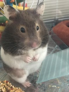 This sub is dedicated to hamsters and their humans. Hamster Pics, Bear Hamster, Hamster Care, Cute Rats, Cute Funny Animals, Cute Baby Animals, Animals And Pets, Fluffy Animals, Hamsters As Pets