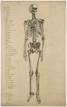 Anatomical drawing of a human skeleton, England, 1840 #anatomical #skeleton