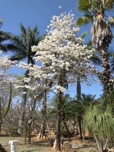 Ipê Branco - Fazenda do Rubens Cosac - Primavera no Brasil - Para JVidaL em São Paulo