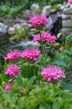 Bergamot or Bee balm. Attracts bees and hummingbirds. Petals used in Earl Grey Tea. Wonderful smell. Comes in different colors.