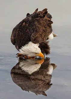 Eagle Reflection (Must be a fish under the ice ...)
