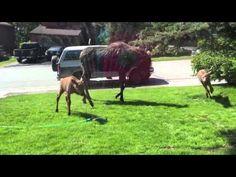 Moose Family Plays in the Sprinklers