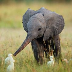 "the-future-now: "" This baby elephant playing with baby egrets is the cutest…"