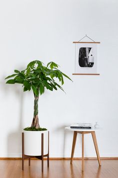 Braided Money Tree (Large) - Potted Plants, Delivered by Léon & George - Premium Online Plant Shop All Plants, Potted Plants, House Plants, Indoor Tree Plants, House Trees, Planting Plants, Snake Plant Care, Lucky Plant, Money Trees