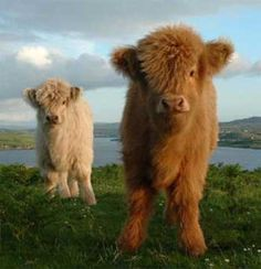 highland cattle calves   ...........click here to find out more     http://googydog.com              ...... P.S. PLEASE FOLLOW ME IN HERE @Emily Schoenfeld Schoenfeld Wilson