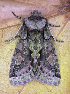 The Moths of Suffolk - 2245 Green-brindled Crescent, Allophyes oxyacanthae, (Linnaeus, Linnaeus, Tapestries, Moth, Butterflies, British, Green, Nature, Beauty, Hanging Tapestry
