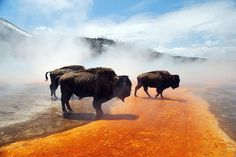 Bison have amazing feet. This is them standing in Grand Prismatic.
