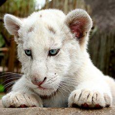 White Lion Cub byKuilz