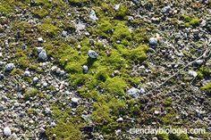 Los briófitos se conocen comúnmente como musgos aunque musgos reales son la clase briópsida, son los primeros colonizadores del medio terrestre. Son talófitos, al igual que las algas no forman tejidos, es decir, no forman grupos de células especializados en una función (no poseen hojas, raíz, tallo… verdaderos). Los briófitos están a caballo entre las …