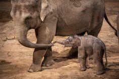 Un éléphant est né le jour de Noël à Planckendael!