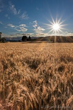 """Photo of the Day - July """"Wheat Fields,"""" North Plains, Oregon. Copyrights belong to the photographer: Lloyd Edwards. Beautiful Places, Beautiful Pictures, Fields Of Gold, Field Of Dreams, Wheat Fields, Felder, Science And Nature, Country Life, Beautiful Landscapes"""