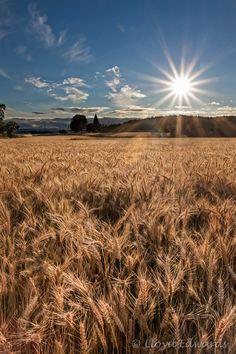 Wheat Fields by Louise Edwards