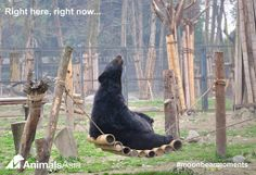 BREAKING NEWS: Two moon bears being rescued right now in Vietnam