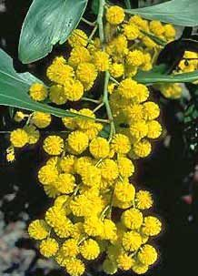 Golden Wattle (Acacia pycnantha) is Australia's national flower and commonly known as Acacias. The Golden Wattle flowers have five very small petals. Learn more about Australia National Flower Australian Wildflowers, Australian Native Flowers, Australian Plants, Australian Native Garden, Native Australians, Plant Information, Australia Day, Western Australia, Chelsea Flower Show