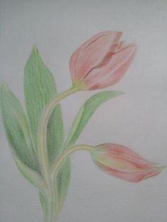 Tulip s