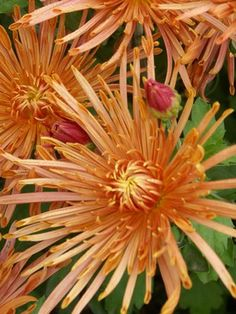 """Type: Perennials,Mums Height: Medium 24"""" (Plant 16"""" apart) Bloom Time: Early Fall to Late Fall Sun-Shade: Full Sun Zones: 5-9   Find You..."""