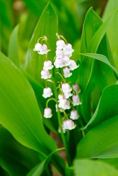 Lily of the valley-the flower of May, I would love to have some in my yard (I think they are spreaders though)
