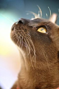 "Burmese cat – ""Like a graceful vase, a cat, even when motionless, seems to flow. Pretty Cats, Beautiful Cats, Animals Beautiful, Pretty Kitty, Beautiful Pictures, Crazy Cat Lady, Crazy Cats, I Love Cats, Cutest Animals"