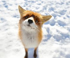 """Foxes are members of the dog family. A female fox is called a """"vixen"""", a male fox is called a """"dog fox"""" or a """"tod"""" and baby foxes are called """"pups"""", """"kits"""" or """"cubs"""". A group of foxes is called a """"skulk"""" or a """"leash"""". http://blog.peta.org.uk/2012/04/10-fascinating-facts-about-foxes-with-photos/"""