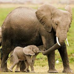 Watch these 21 Glorious Moms Of The Animal Kingdom that prove a mother's love has no boundaries and a mom will forever take care of her young Mom And Baby Elephant, Elephant Love, Elephant Family, Newborn Elephant, Funny Elephant, Happy Elephant, Cute Baby Animals, Animals And Pets, Funny Animals