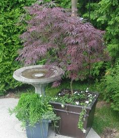 potted japanese maples