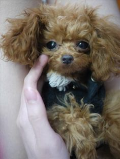 """This little red-head is a 1 year old teacup poodle and she's only 5-1/2"""" tall. So adorable!"""