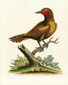 Antique Prints of Birds from George Edwards