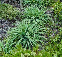"""Carex laxiculmus 'Hobb' (8-12""""x12-16"""")"""