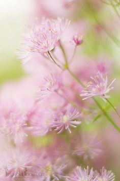 Scottish summer flowers from Perthshire Floral photographer Rosie Nixon's own wildlife and nature garden.  Meadow rue www.leavesnbloom.com