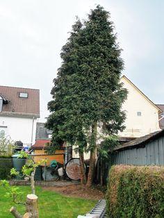 Baum fällen in Stücken Christmas Tree, Holiday Decor, Home Decor, Teal Christmas Tree, Xmas Trees, Xmas Tree, Interior Design, Home Interiors, Decoration Home