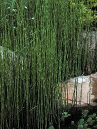Equisetum horsetail - very fashionable in modern designs where it is often trimmed into bold blocks.