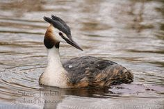 Grèbe huppé / Great Crested Grebe