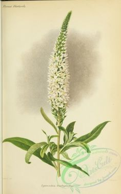 flowers-29288 - lysimachia brachystachys [3078x4950] -  botanical nature download pages scan craft books commercial free natural flower royalty qulity lithographs Pictorial collage domain 300 dpi blooming 18th plants 1800s Paper ArtsCult.com high art masterpiece old flowers printable Artscult picture collection instant ornaments paintings decoration beautiful botany pack ArtsCult public Victorian illustration scrapbooking century Graphic engravings 1900s Edwardian vintage flora floral…