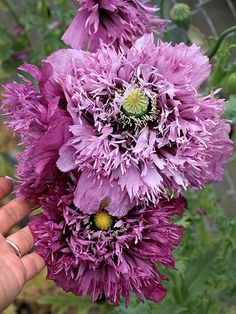 Papaver hybridum 'Sugar Plum' purple petticoat of a poppy is smashing! Frilly & fringed semi-double lilac flowers with a darker center are held on long stems above grey-green foliage. Outer petals keep their cupped shape & cradle the inner petals, making for an excellent flower form. Those of you in colder zones should plant after your last frost