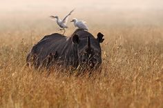 Black rhino with cattle egrets and oxpekers | Flickr : partage de photos !