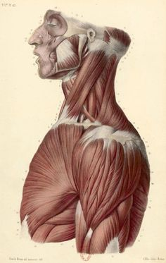 Muscles Head, Neck and Torso Human Muscle Anatomy, Human Anatomy Drawing, Anatomy Study, Body Drawing, Anatomy Reference, Life Drawing, Figure Drawing, Head Anatomy, Anatomy Images