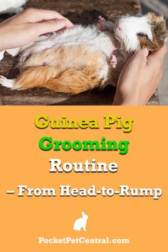 This is the complete grooming routine for your guinea pigs! Read this and you´ll guinea pigs will love you immediately! Guinea Pig Hutch, Guinea Pig Food, Pet Guinea Pigs, Guinea Pig Care, Guniea Pig, Pocket Pet, Reptile Cage, Reptile Enclosure, Healthy Pets