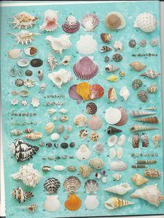 Name that seashell - Florida Seashell Painting, Seashell Art, Seashell Crafts, Beach Crafts, Starfish, Shell Display, Shell Collection, Sanibel Island, Beach Art