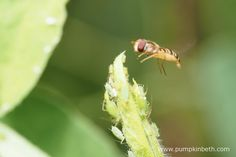 Episyrphus balteatus, commonly known as the marmalade hoverfly, is a well established species, found in widespread area across Europe, North Asia and North Africa.