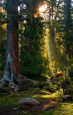 Taiga forest morning beam, Ergaki, Siberia, Russia