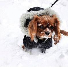 King Charles - East coast with the blizzard❄️❄️