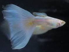 Image result for Visit albino galaxy guppy