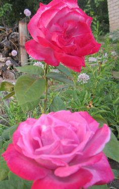 Роза ЧГ Парадиз Paradise, Небо в огне Burning Sky или Страсть Passion.  Иногда удивляет, как цветок имеющий всего 25 лепестков и даже не претендующий на звание густомахрового, может иметь такую восхитительную форму и превосходить по декоративным качествам многие другие знаменитые сорта. Казалось бы, нет ничего необычного в сочетании розового и лилового цвета, но в этом цветке они создают нежно-вычурную композицию, вызывая у людей разные ассоциации с сочетанием цветов.