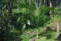 Descubre a la palmera Carpoxylon macrospermum - https://www.jardineriaon.com/descubre-a-la-palmera-carpoxylon-macrospermum.html #plantas