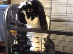 This is my bunny Oreo