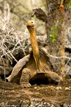 Tortoise With Long Neck 1 by photoboy