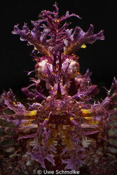 Weedy scorpionfish - Rhinopias frondosa by Uwe Schmolke