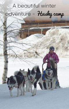 A day with huskies. Next to the campfire you will learn interesting facts about these fascinating dogs. Husky, Interesting Facts, Fun Facts, Most Beautiful, Camping, Adventure, Winter, Dogs, Outdoor