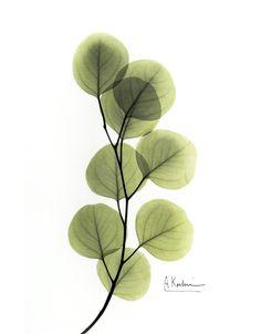 Eucalyptus by Albert Koetsier | Susan Spiritus Gallery